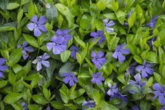 Vinca minor Royalty Free Stock Photo