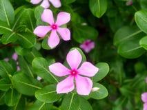 Periwinkle. Vinca minor flower periwinkle in the garden Stock Photo