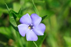 Vinca minor flowers blossom Stock Photography