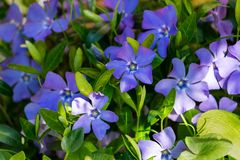 Vinca minor lesser periwinkle, small periwinkle, common periwinkle grows equally well in wild forest and in well-kept garden. Blue flowers on bright green royalty free stock photography