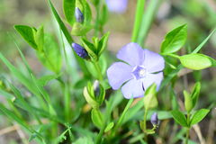 Vinca minor Royalty Free Stock Photos