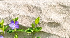 Vinca minor with one flower grows up a cement wall stock images