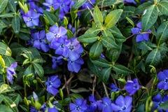 Vinca minor. Periwinkle plant. Blue spring flowers. stock images