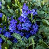 Vinca minor. Periwinkle plant. Blue spring flowers. royalty free stock photos