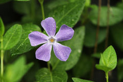 Vinca Minor purple flower Royalty Free Stock Images