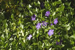 Free Vinca Minor Shurb With Flowers Royalty Free Stock Photos - 184568978