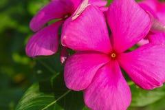Vinca o fiore dell'occhio di Bringht Fotografia Stock Libera da Diritti