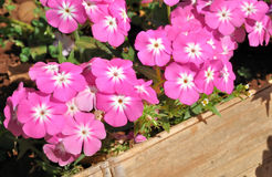 Vinca Pacifica Rose Halo flower or Madagascar Periwinkle Stock Photos