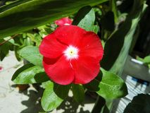 Vinca, periwinkle, vinca de madagascar, good afternoon, teresita. Small flower of great beauty and radiant colors, with flowers that are born every day, day stock photography