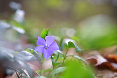 Vinca,  periwinkle flower in green forest Royalty Free Stock Photos