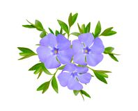 Vinca or periwinkle. Isolated on white background Royalty Free Stock Photography