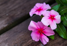 Vinca Stock Photos