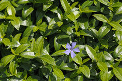 Vinca plant with a flower Royalty Free Stock Photography