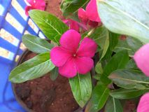 Vinca rosea stock photos