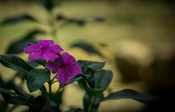 Vinca rosea flower blooming. Catharanthus roseus is a small, upright shrub prized for its shiny green leaves and delicate looking flowers. It was found growing Royalty Free Stock Photos