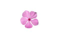Vinca rosea Flower Stock Photo