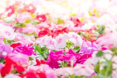 Vinca rosea flowers. Blossom in the garden, foliage variety of colors flowers, selective focus stock photography