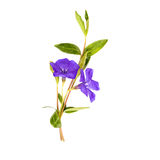 Vinca spring bouquet. Of leaves and stems stock photography