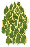 vinca variegata листьев главный Стоковое Изображение RF