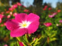 Vinca, violette bloem Royalty-vrije Stock Fotografie