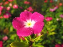 Vinca, violette bloemen Stock Foto's