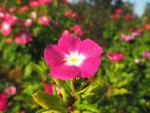 Vinca, violette bloemen Royalty-vrije Stock Fotografie