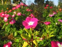 Vinca, violette Blume Lizenzfreie Stockfotografie