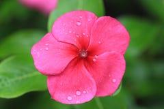 Vincabloem, Vinca-bloem met dalingen van dauw Royalty-vrije Stock Foto