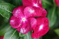 Vincabloem, Vinca-bloem met dalingen van dauw Royalty-vrije Stock Afbeeldingen
