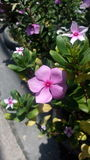 Vincablomma, Madagasca blomma, Arkivbilder