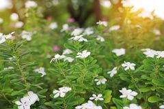Vincaroseablommor blomstrar i sommarträdgården under solljus royaltyfria foton