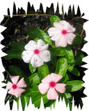 Vincas after a rain Royalty Free Stock Photography