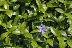 Vincaväxt med en blomma Royaltyfri Fotografi