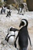 Vinculación del pingüino Imagenes de archivo
