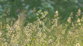 Vind rör änggräs och blommor i bygden arkivfilmer
