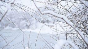 Vind skakar filialer av videt, filialer som täckas av snö, banken av dammet, vintersäsongen, bygd, Ukraina stock video