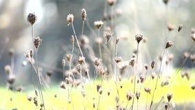 Vind som blåser torra blommor på höst stock video