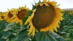 Vind som bl?ser in i solroskolonislutet upp arkivfilmer