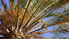 Vind vogel in een palmkroon Stock Afbeelding