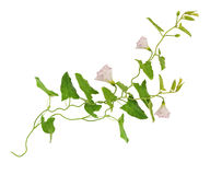 Vindablomma- och sidakvistar Royaltyfri Foto