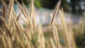 Vindar blåser lösa växter på solnedgången som gör bakgrundsbilden oskarp stock video