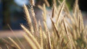 Vindar blåser lösa växter på solnedgången som gör bakgrundsbilden oskarp lager videofilmer
