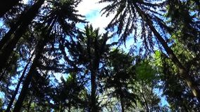 Vinden i treetopsna Kameran för statisk elektricitet för gran-träd skogskytte arkivfilmer