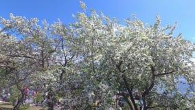 Vinden skakar filialerna av det Apple trädet med vita blommor lager videofilmer
