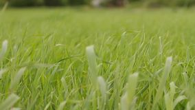 Vinden vinkar gräset stock video