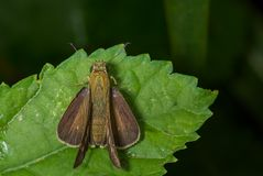 Vindhyan Bob Butterfly Royaltyfria Bilder