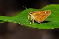 Vindhyan Bob Butterfly Royaltyfri Bild