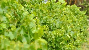 Vindruvor Barossa Valley Royaltyfria Bilder