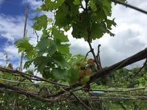 The vine royalty free stock photo