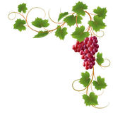 Vine. Red vine on a white background Stock Image